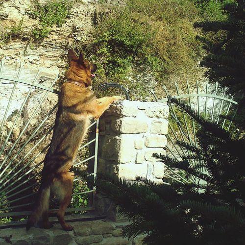 GSD Guarding The Garden Angelic