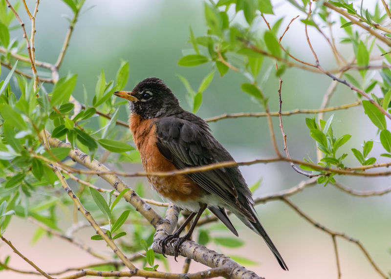 American Robin Animal Themes Beauty In Nature Bird Branch Nature Outdoors Perching Tree Wild Bird Wildlife