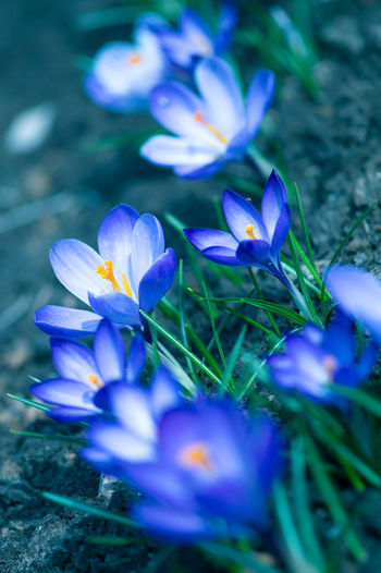 Flowering Plant Flower Plant Freshness Crocus Petal Beauty In Nature Vulnerability  Growth Purple Iris Selective Focus Fragility Close-up Land Inflorescence Flower Head Nature Field No People Springtime