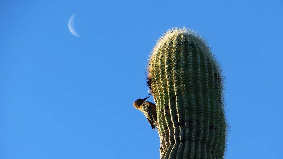 Low angle view of gila woodpecker perching on saguaro against clear blue sky