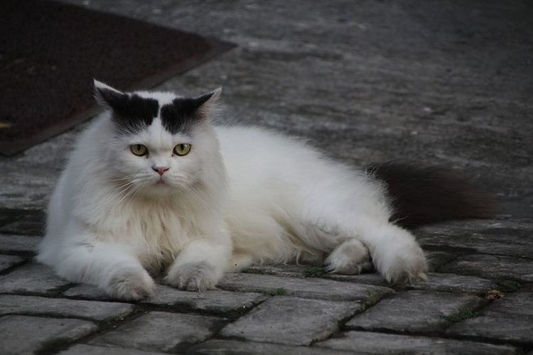 Muecha Cat Catoftheday Catcute Instaphotography Naturephotography Animalphotography Fotografi Eyemcat Cats Of EyeEm Cats 🐱 Catlovers Petlover Funnycat Cat Watching Catportrait Persian Cat  Kitten Feline Sitting Domestic Cat Looking At Camera Lying Down Paw