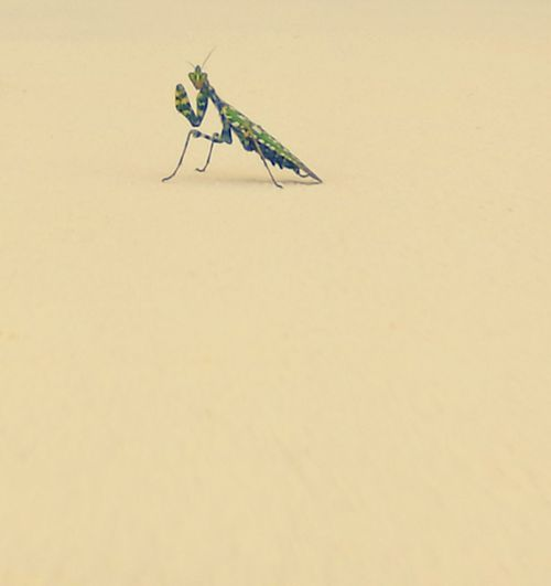 Insect Photo Mantis Pose Mantis Religiosa Mantis Collections