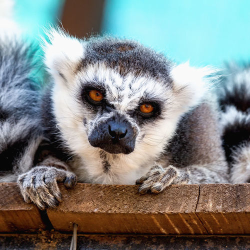 Close-up portrait of lemur