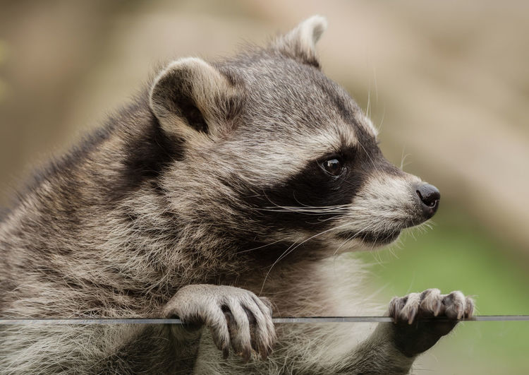 Close-Up Of Raccoon