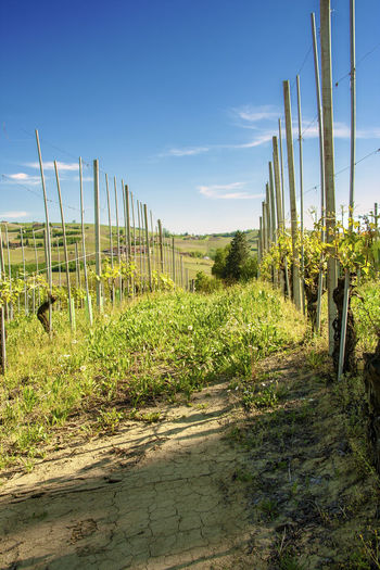 Landscape Plant Agriculture Rural Scene Land Field Environment Sky Nature Growth No People Outdoors Vineyard Piedmont Italy Italy Italian Monferrato Roero Asti Piedmont Wine Region