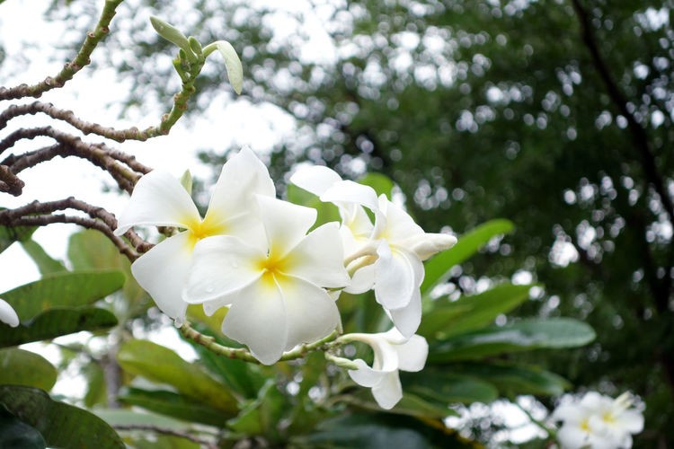 Beauty In Nature Blooming Blossom Botany Branch Close-up Day Flower Flower Head Flowers Fragility Frangipani Freshness Growth Low Angle View Nature No People Outdoors Petal Springtime Tree White Color White Pumeriaa