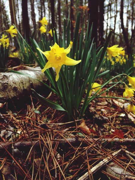 A walk in the woods. Woods Trees Flowers Daffodil Daffodils Yellow