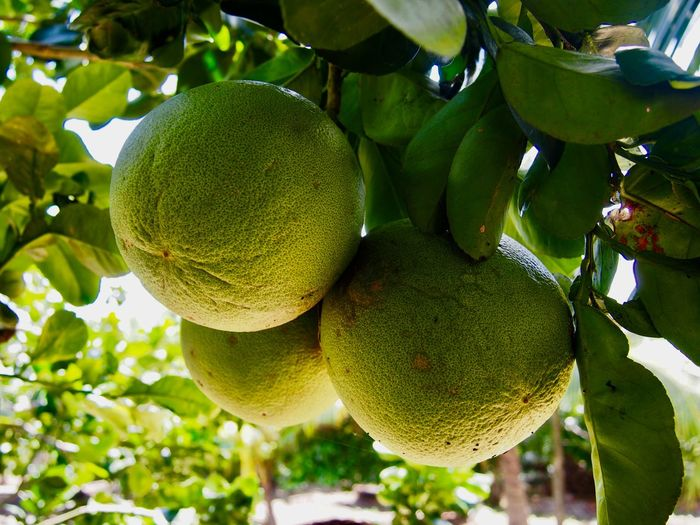 Pommelo in Mekong delta Healthy Eating Fruit Food And Drink Food Plant Green Color Wellbeing Freshness Nature Fruit Tree Organic First Eyeem Photo The Traveler - 2018 EyeEm Awards