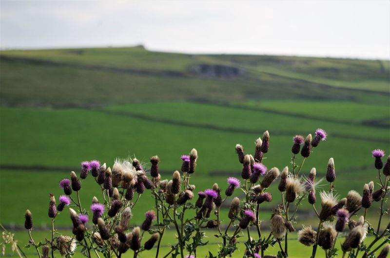 flowers in the peak district Agriculture Beauty In Nature Close-up Day Field Flower Flower Head Fragility Freshness Growth Landscape Nature No People Outdoors Peak District  Plant Rural Scene Sky Thistle