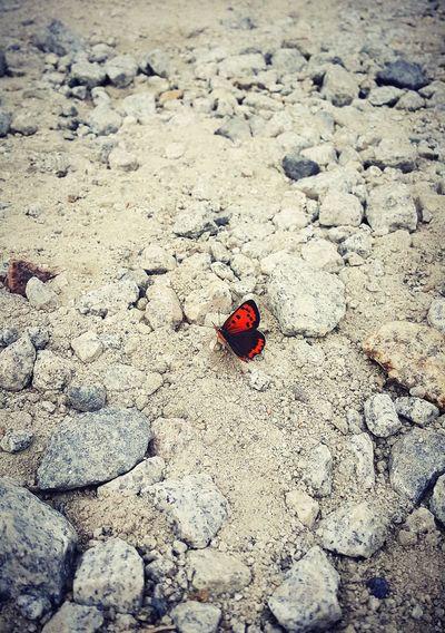 Butterfly Crimson