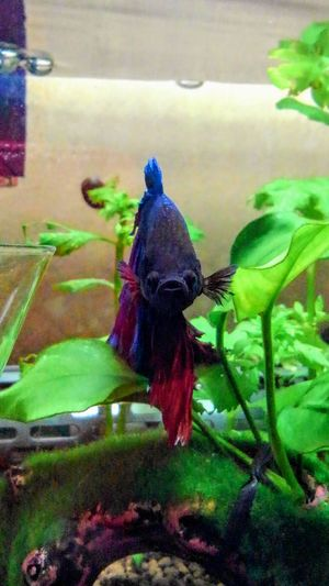 my lovely bettafish Betta  Betta Splendens Bettafish Bettafishcommunity One Animal Water Nature Outdoors Day Animal Themes No People Plant Growth Leaf Beauty In Nature Flower