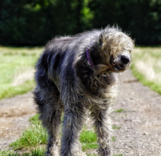 Trump style😂😂😂 One Animal Domestic Animals No People Shaking Shaking Dog Irish Wolfhound Dogs Of EyeEm Gentle Giant. Willi The Wolfhound My Love❤ Purebred Dog Trump Hair Pet Portraits