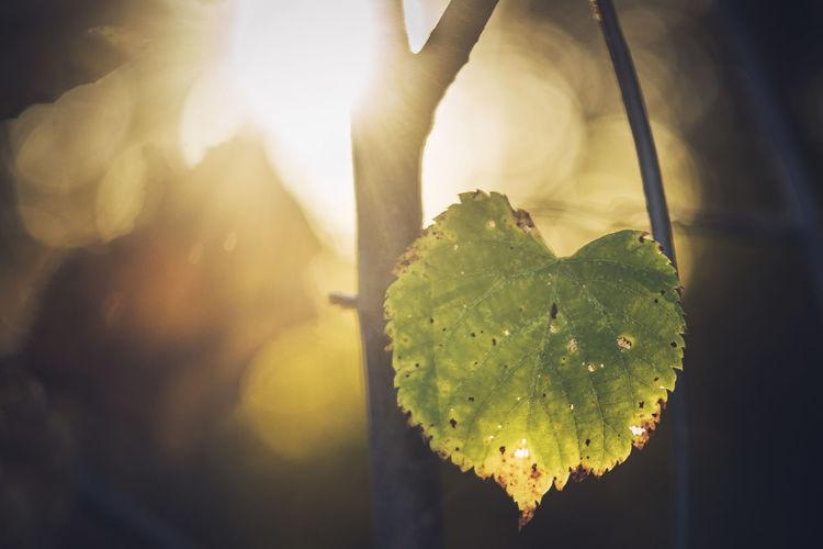Basswood Leaf