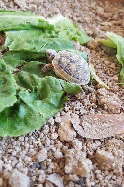 Baby Turtle Day Leaves Soil Baby Tortoise Lettuce Brown Green Close-up Animal Themes