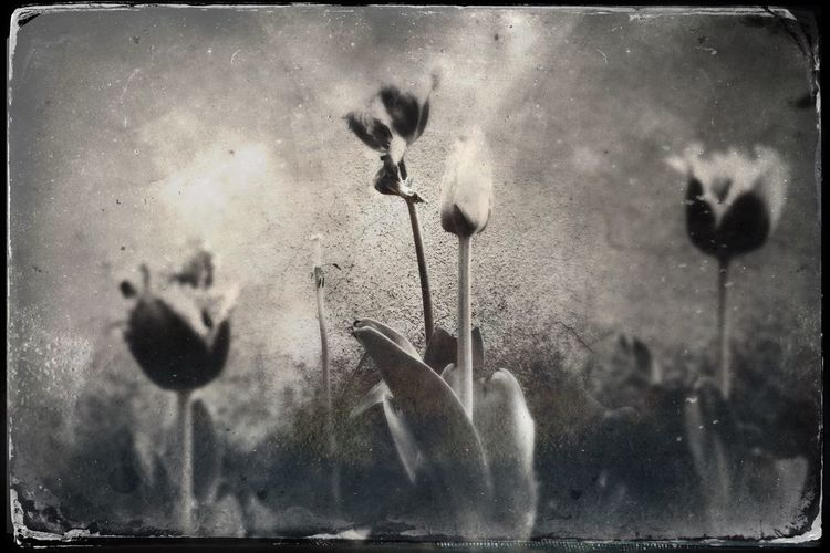 NEM Black&white Vintage Tulips Flowers EyeEm Nature Lover The Week Of Eyeem Blackandwhite EyeEm Best Shots - Black + White Moody Sky Classic EyeEm Italy TheWeekOnEyeEM Minimalism Nature Photography Nature Postprocessing