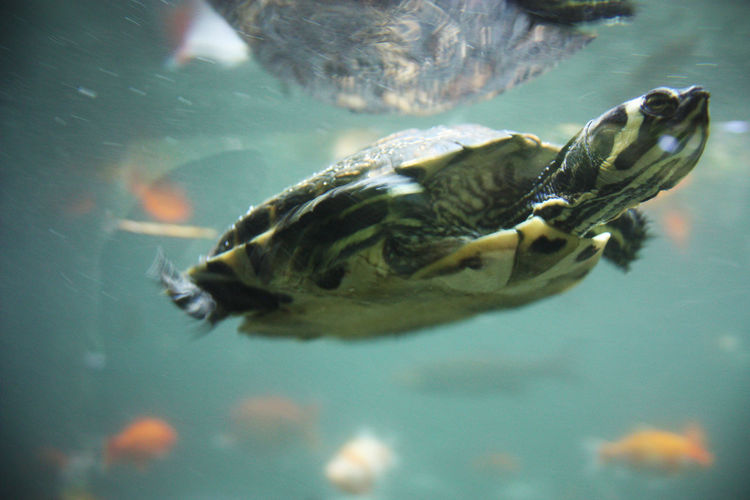 Freshwater sea little turtle swims underwater in the waves in the ocean