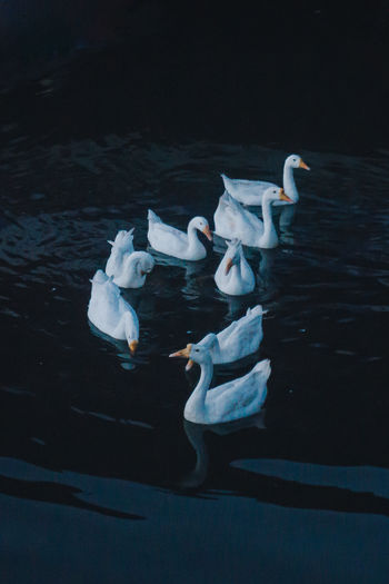 High angle view of swans floating on lake
