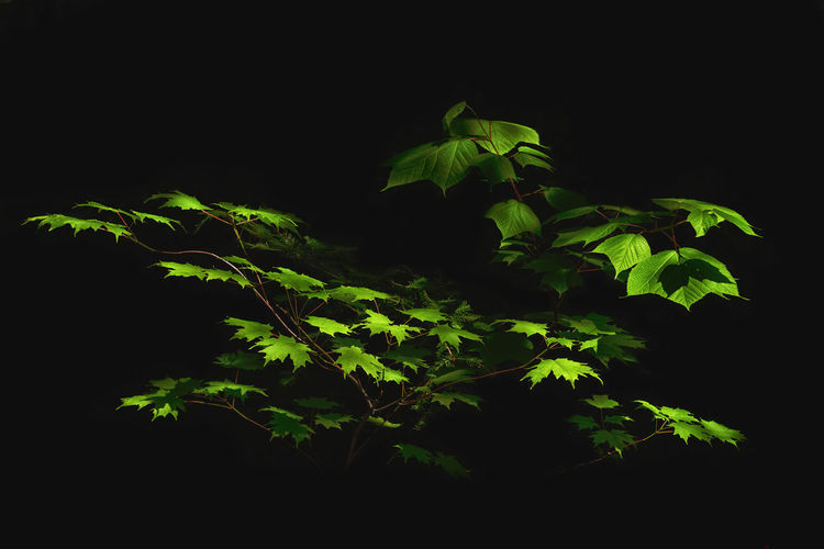 Leaves Natural Light Quebec Beauty In Nature Black Background Canada Close-up Freshness Green Color Growth Leaf Nature No People Outdoors Plant