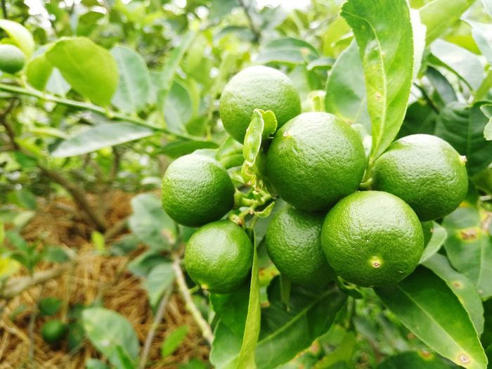 Tree Fruit Agriculture Leaf Cultivated Close-up Plant Green Color Food And Drink Farmland Lemon Tree Ripe Plantation Cultivated Land Orchard Juicy Orange Tree Fruit Tree Vineyard Apple Blossom Citrus Fruit Agricultural Field Tea Crop Cherry Tree Apple Tree Picking Farm Vitamin C Winemaking Rice Paddy
