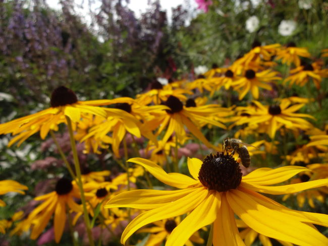 Abundance Beauty In Nature Bee Bees Black-eyed Susan Blooming Blossom Close-up Day Field Flower Flower Head Focus On Foreground Fragility Freshness Growth In Bloom Nature Outdoors Pollen Scenics Springtime Summer Vibrant Color Yellow