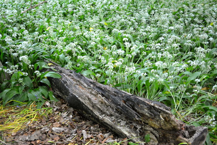 Close-up Day Field Flower Flowers Grass Green Color Growth Leaf Nature No People Old Log Outdoors Plant White Flowers Wood - Material