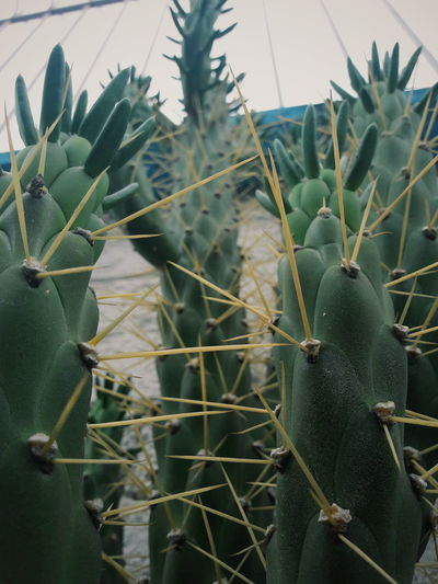 Nature Plant Green Color No People Agriculture Beauty In Nature Growth Thorn Tree Cactus Day Rural Scene Outdoors Close-up Sky Prickly Pear Cactus