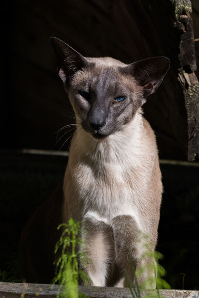 Cat Cat Lovers Catoftheday Cats Cats Of EyeEm Cat♡ Feline Feline Portraits Nature Nature On Your Doorstep Nature Photography Nature_collection Siamese Cat