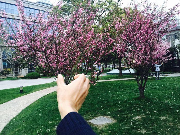 樱花盛开,我在思念谁?