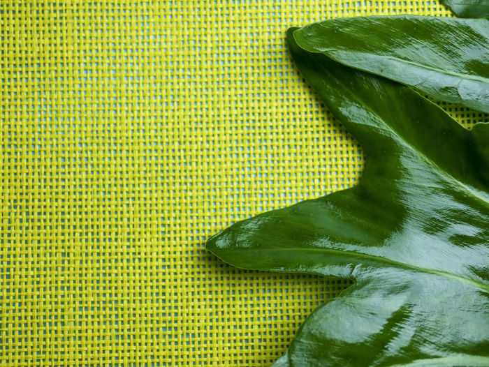 Philodendron leaf on yellow grid space background Food And Drink Pasaion Color Photography GREEN LIFE Green And Yellow Leaves Composition Space Passion Of Color Beauty Concept Natural Pattern Philodendron, Leaf, Selloum, Plant, Green, Tropical, Garden, Nature, Big, Large, Bipinnatifidum, Background, Outdoor, Forest, Foliage, Botany, Tree, Beautiful, Design, Leaves, Summer, Texture, Bush, Natural, Patterns, Environment, Flora, Jungle, Lush; Philodendron Leaf Nature Healthy Eating Green Color Plant Part Yellow Freshness Leaves Textured