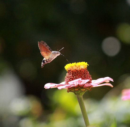 Mother Love <3 Animal Themes Animals In The Wild Beauty In Nature Day Flower Flower Head Fragility Freshness Growth Humingbirdmoth Insect Nature No People One Animal Outdoors Petal Plant