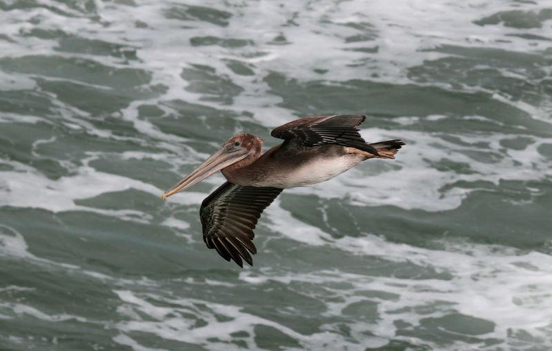 Brown pelican flying over sea