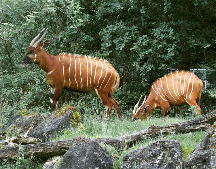 Animal Animal Themes Animal Wildlife Animalia Animals Animals In The Wild Bongo Forest Nature No People Zoo