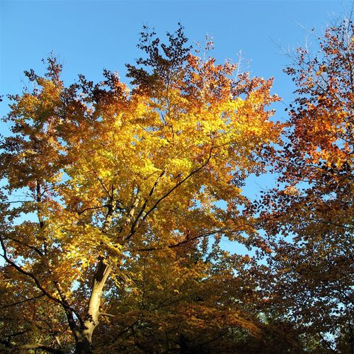 Autumn Beauty In Nature Blue Branch Change Clear Sky Day Fall Growth Leaf Low Angle View Natural Condition Nature No People Orange Color Outdoors Plant Sky Tranquility Tree Yellow