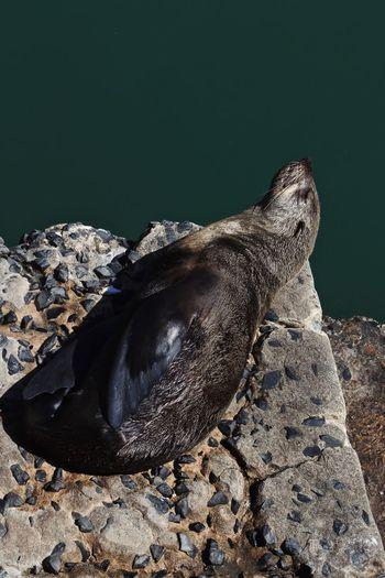 Seal Laying