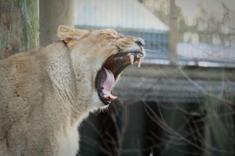 Animals Suomi Finland Helsinki Korkeasaari Zoo Animal Photography Animal Portrait Yawning Lion Yawning Cat Yawning Yawn Lioness Lion Animal