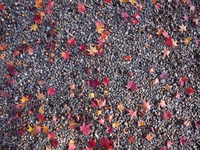 Kyoto Japan Kouetsuji Autumn Momiji Leaves Autumn Colors Olympus PEN-F 京都 日本 光悦寺 寺 紅葉 秋 もみじ 葉