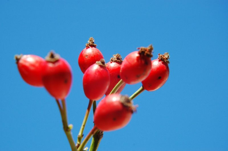 Low angle view of red berries against blue sky