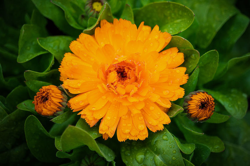 orange beauty Animal Animal Wildlife Animals In The Wild Beauty In Nature Close-up Flower Flower Head Flowering Plant Fragility Freshness Growth Inflorescence Insect Invertebrate Leaf Nature No People Outdoors Petal Plant Plant Part Pollen Pollination Vulnerability