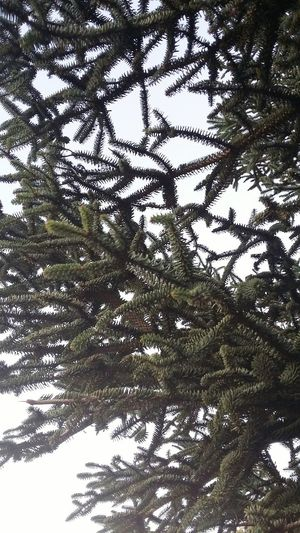 Pine tree Nature Beauty In Nature Low Angle View