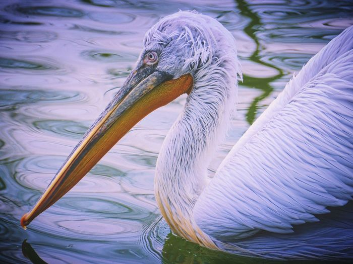 Close-up of pelican swimming on lake