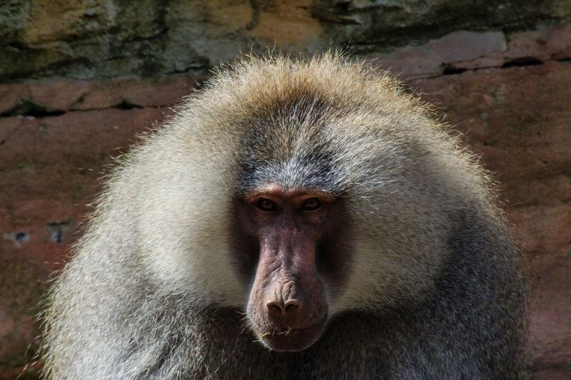 Big Bad Baboon. Baboon One Animal Looking At Camera Monkey Animal Wildlife Close-up Animal Head  Animals In The Wild Mammal Portrait Outdoors No People Day Animal Themes Nature Devon Paignton Paigntonzoo EyeEmNewHere