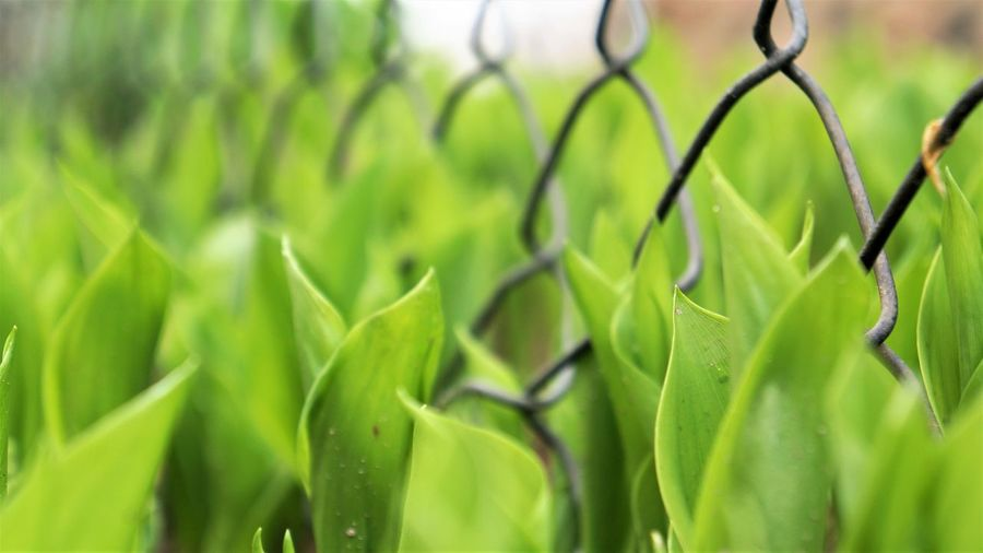 Lily of the Valley leaves growing around a chain link fence Beauty In Nature Chain Link Fence Close-up Day Fragility Freshness Grass Green Color Growth Leaf Macro Nature No People Outdoors Plant Perspectives On Nature