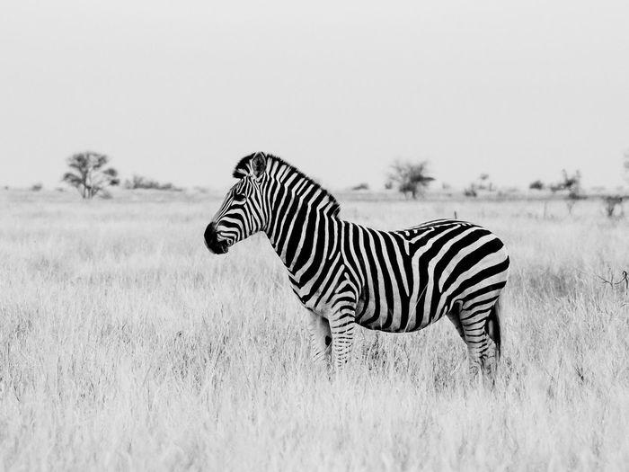Zebra on a field