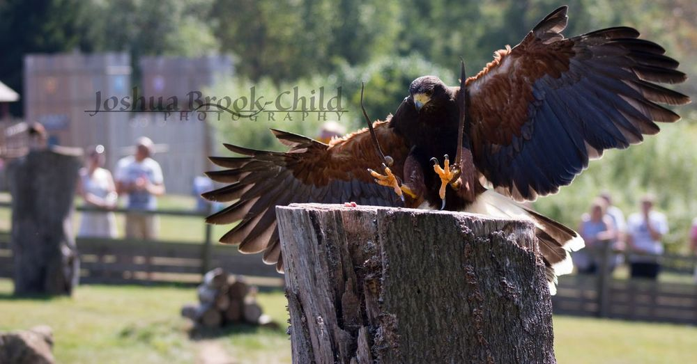 Another one from today Falconry Sunnyday Canonphotography Nature LeedsCastle Hawke