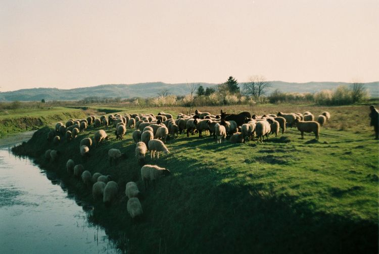 Flock of sheep in the Pannonian plain Analogue Photography Film Panonia Serbia Analog Clear Sky Domestic Animals Donkey Field Film Photography Filmcamera Filmisnotdead Flock Of Sheep Grass Herbivorous Herd Livestock Sheep Sheppard Sky Spring Springtime Vajdaság Vojvodina Water
