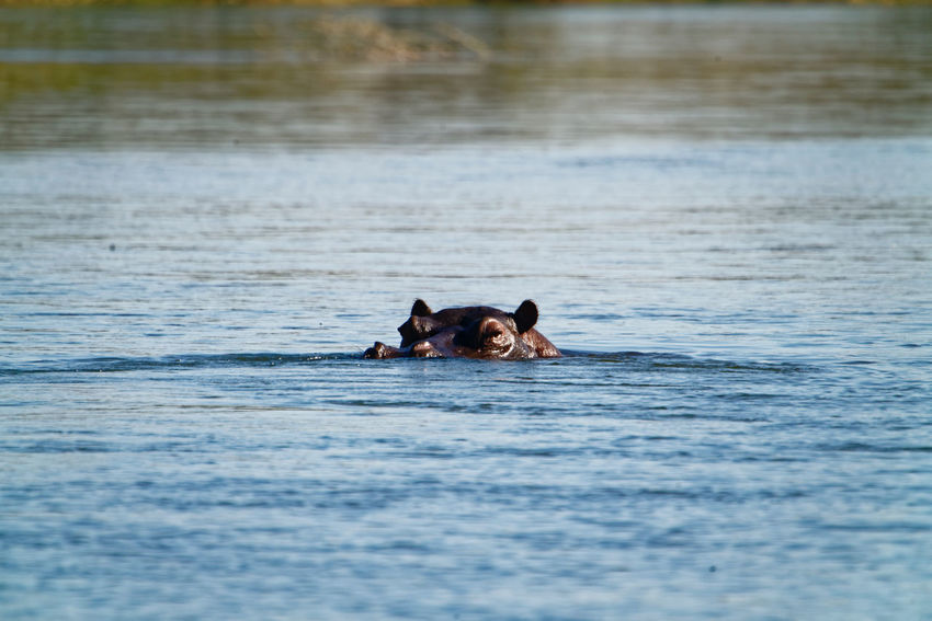 Hippo peeking out of water in the okovango Hippo Okovango Okovango River Cubango River Namibia Africa EyeEm Selects Hippopotamus Swimming Water Underwater Adventure Safari Animals Nature Reserve Safari Wildlife Reserve Southern Africa Aquatic Mammal