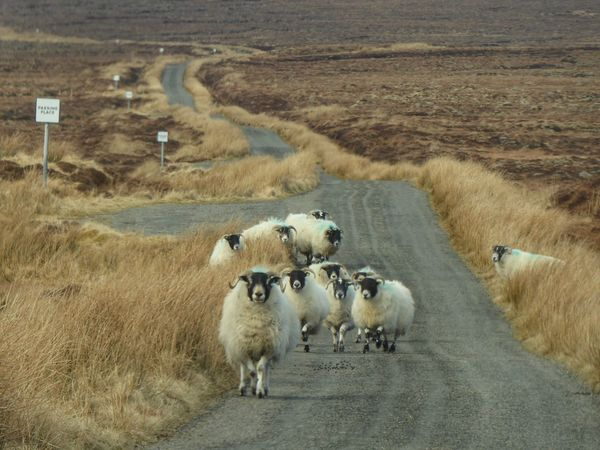 Traffic jam on Isle of Lewis... Animals On The Road Traffic Jam FUNNY ANIMALS Isle Of Lewis Scotland Livestock Domestic Animals Agriculture Mammal Animal Themes Landscape Nature Road Rural Scene Day Outdoors Large Group Of Animals Flock Of Sheep No People Sheep Grass