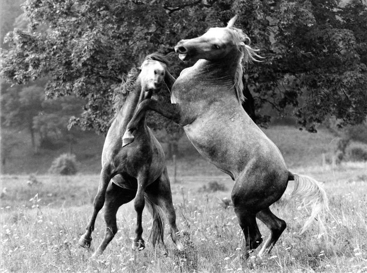 Struggle (Photo: janos Eifert) Bükk National Park Eifert János Horses Hungary Aggression  Anger Animal Animal Behavior Animal Themes Animal Wildlife Animals In The Wild Conflict Day Domestic Animals Grass Group Of Animals Herbivorous Mouth Open Nature No People Outdoors Plant Struggle For Existence Two Animals Vertebrate