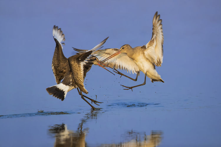 【神奇的高邮湖】黑尾塍鹬•打嘴仗