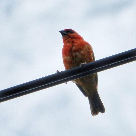 #rougegorge #Maurice Nature Bird Mauritius Nature_seekers Maurice Nature_shooters Nature_obsession Igersmauritius Rougegorge